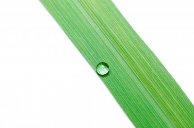 Water Drops on Green Leaf Isolated