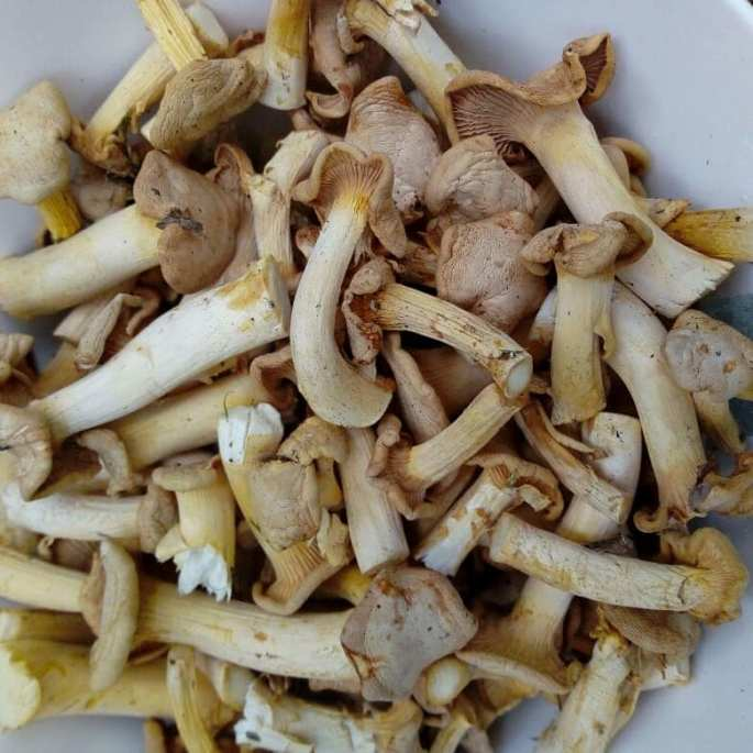 Dry Chanterelles